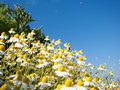 Field of camomile Stock Image