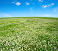 Field of camomiles and blue cloudy sky Stock Photography