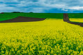 Field of canola flowers Royalty Free Stock Photo