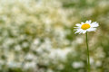 Field chamomile on blurred background Royalty Free Stock Photo
