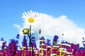 Field with chamomile flowers against the blue sky Royalty Free Stock Photo