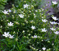 Field chickweed spring white flowers Royalty Free Stock Photos