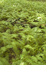 Field of Cinnamon Ferns Royalty Free Stock Photo