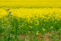 Field of  cole flowers Royalty Free Stock Photo