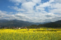 Field of cole flowers in zhejiang province china Royalty Free Stock Photos