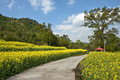 Field of cole flowers in zhejiang province china Stock Photos