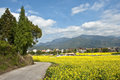 Field of cole flowers in zhejiang province china Royalty Free Stock Photo