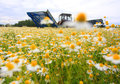 Field of colorful daisy with out of focus farm tractor in the background Royalty Free Stock Photo