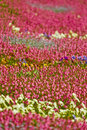 Field of colorful flowers Royalty Free Stock Photography