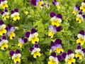 Field of colorful spring flowers pansies Royalty Free Stock Photography