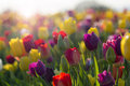 Field of colorful tulips in bloom tulip flowers with sun flares and bokeh Royalty Free Stock Photography