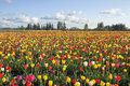 Field of colorful tulips landscape tulip flowers in bloom during spring season at oregon tulip farm Stock Images
