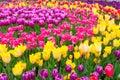 Field of colorful tulips. Scagit Valley Tulip Festival in Washington.