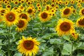 Field with common sunflowers Helianthus annuus Royalty Free Stock Photo