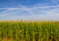 Field with corn Royalty Free Stock Image