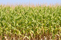 Field corn being grown in the willamette valley wall of oregon Stock Images