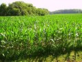 Field of corn digital camera young plants before they set tassels Royalty Free Stock Photography