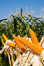 Field corn for feeding livestock Royalty Free Stock Images