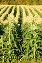Field corn large of in late afternoon sunlight outside of roseburg oregon Royalty Free Stock Photos