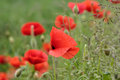 Field of Corn Poppy Flowers Papaver rhoeas Royalty Free Stock Photo
