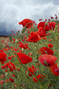 Field of corn poppy with red flower Stock Image