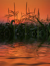 Field of corn in reflection on sunset. Stock Photography