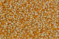 Field corn seed Royalty Free Stock Photo