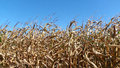 Field of corn stalks dried and ready for harvest Royalty Free Stock Photo