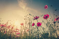 Field cosmos flower and sky sunlight with Vintage filter. Royalty Free Stock Photo