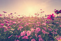Field cosmos flower and sky sunlight with Vintage filter Royalty Free Stock Photo