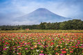 Field of cosmos flowers and Mountain Fuji Royalty Free Stock Photo