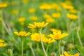 Field of creeping daisy singapore daisy beautiful Royalty Free Stock Image