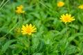 Field of creeping daisy singapore daisy beautiful Royalty Free Stock Photos