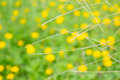 Field of creeping daisy singapore daisy with blur background Royalty Free Stock Images
