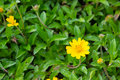 Field of creeping daisy singapore daisy in nature background Stock Image
