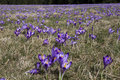 Field of crocus flowers wild violet in the early springtime on the mountain meadow Stock Image
