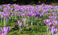 Field of Crocus Royalty Free Stock Photo