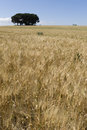 Field of cultivated wheat under the sun triticum Royalty Free Stock Photography