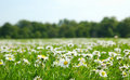Field with daises Stock Image