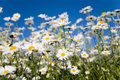 Field of daisies Royalty Free Stock Photo