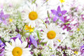 Field of daisies. Royalty Free Stock Photo