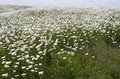 Field with daisies on island tiengemeten the netherlands Stock Images