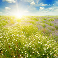Field with daisies and sun on sky, focus on foreground Royalty Free Stock Photo