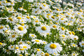 Field of daisy Royalty Free Stock Photo