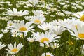 Field daisy close up Royalty Free Stock Photo