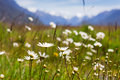 Field of daisy flowers summer Royalty Free Stock Images