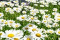 Field of daisy flowers in the summer Royalty Free Stock Photo