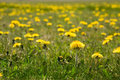 Field of dandelions Stock Images
