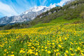 Field with dandelions on a background of the bernese alps Royalty Free Stock Photo
