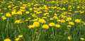 Field of dandelions in green grass panoramic view Stock Image
